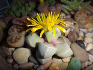 lapidaria-margaretae-01-2015-10-05-blossom.jpg