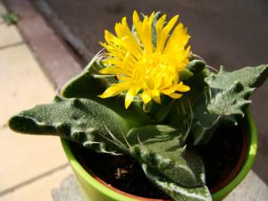 Цветок фаукарии