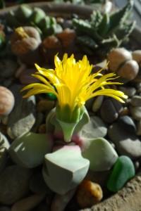 Цветет лапидария
