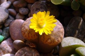 Цветет