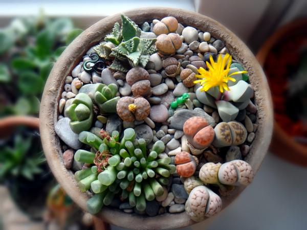2015-10-12 цветет lapidaria margaretae