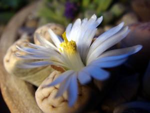 lithops-karasmontana-2014-10-10-flowering.jpg
