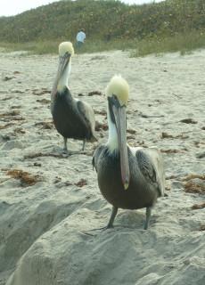Pelicans on Melbourne Beach, FL December 2009