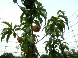 Photo of Peach tree bearing fruit on Land of Many Names, Dripping Springs May 2010