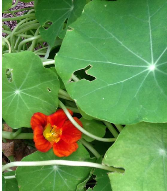 First nasturtium bloom of 2012 - Happy Sexiest Day!
