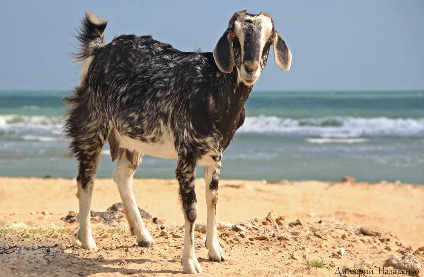 коза в пойнт педро1