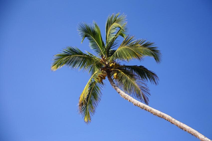 какосовая-пальма