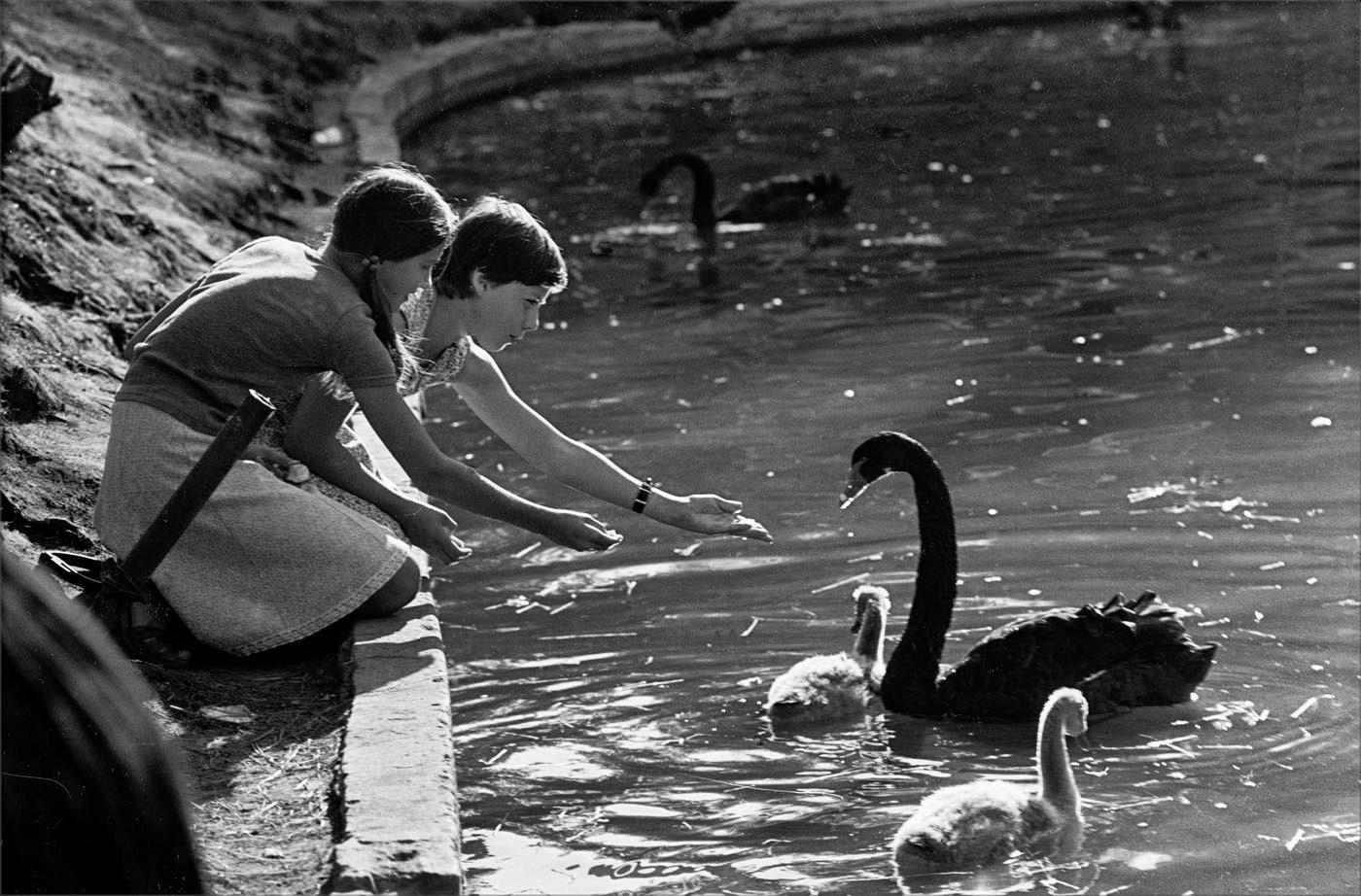 1988. Кормление лебедей на пруду в Парке Горького. 14 августа