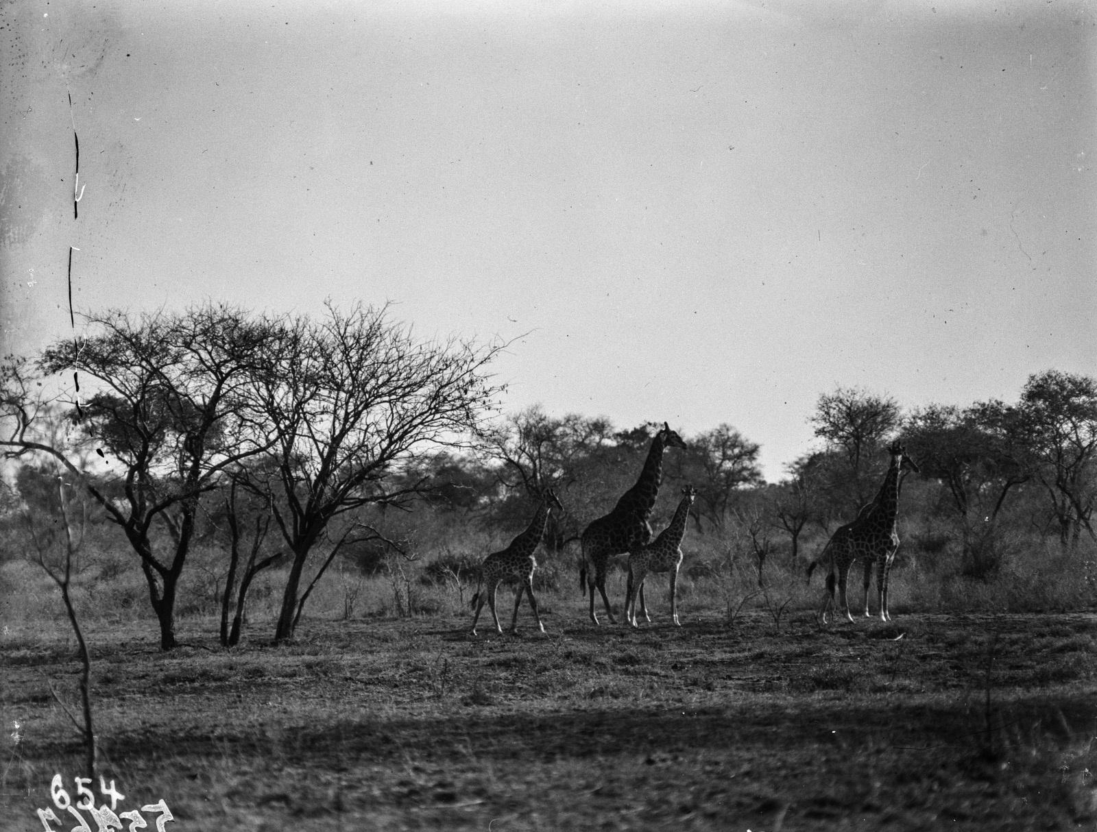 Национальный парк Крюгера. Жирафы в саванне.