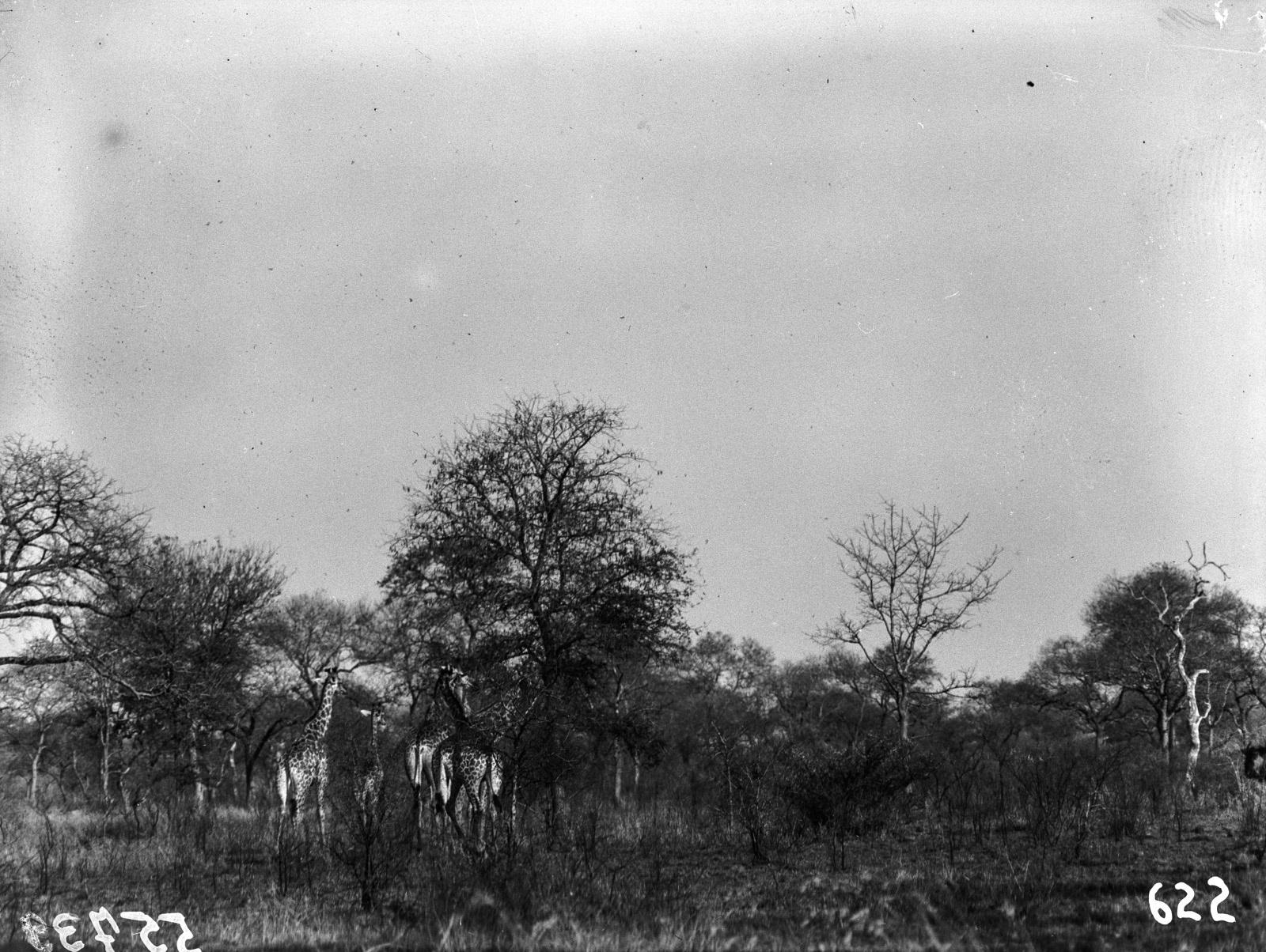Национальный парк Крюгера. Жирафы в саванне