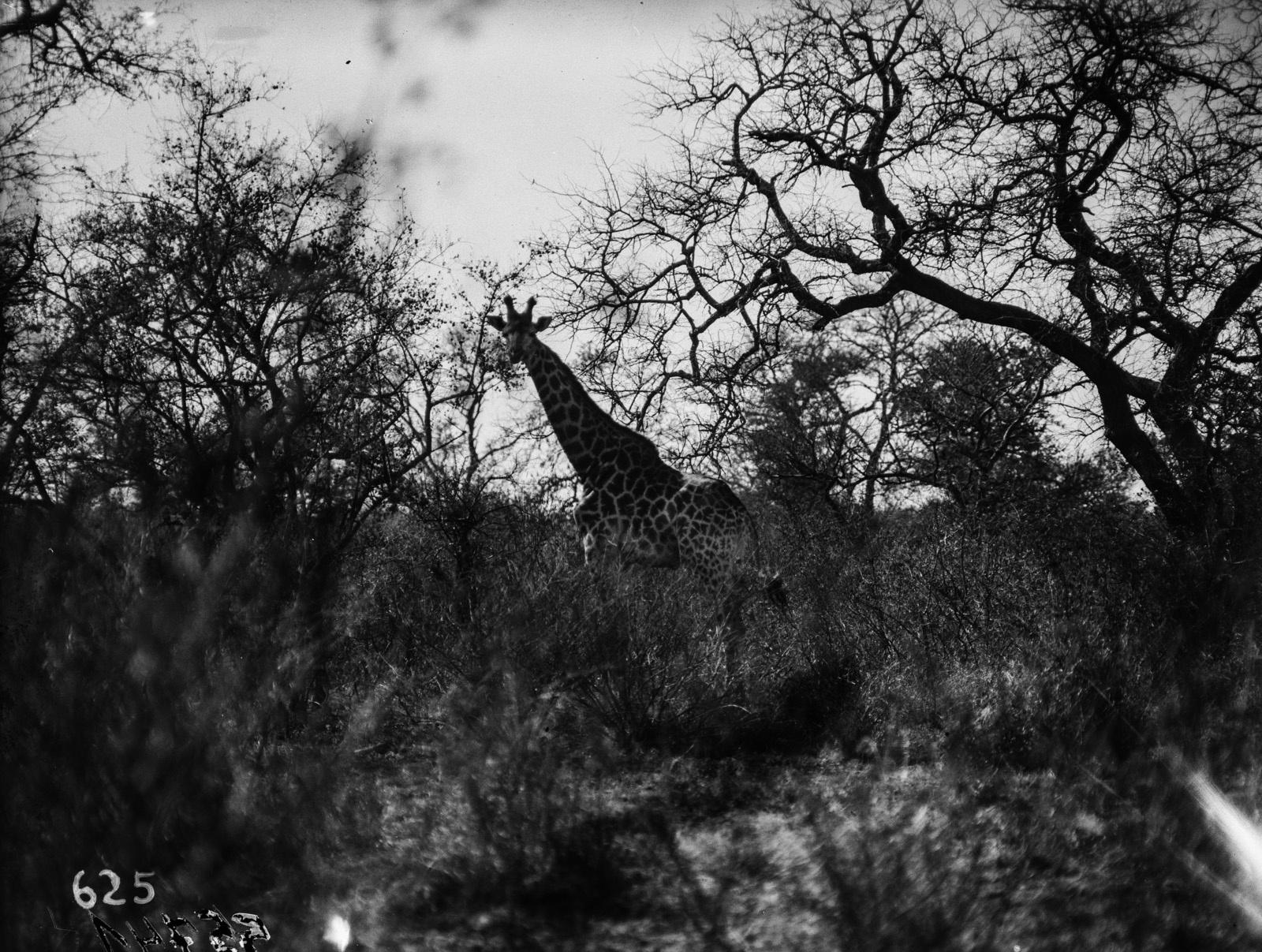 Национальный парк Крюгера. Жираф в саванне