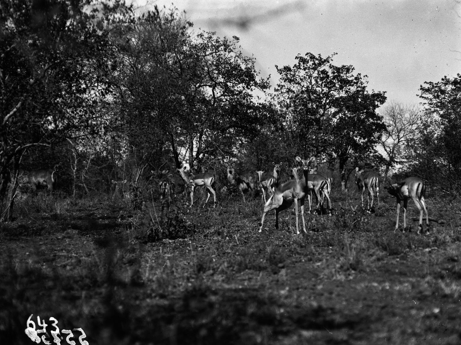 Национальный парк Крюгера. Антилопы импалы в саванне
