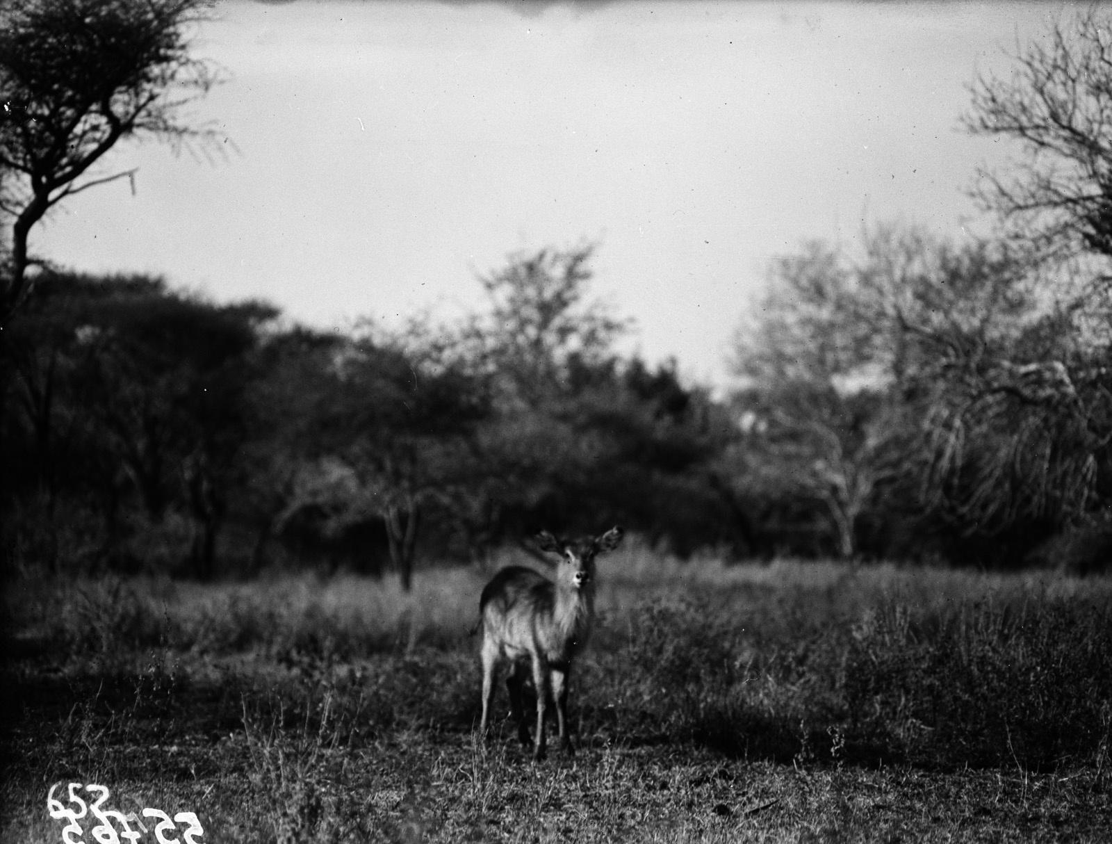Национальный парк Крюгера. Водный козёл