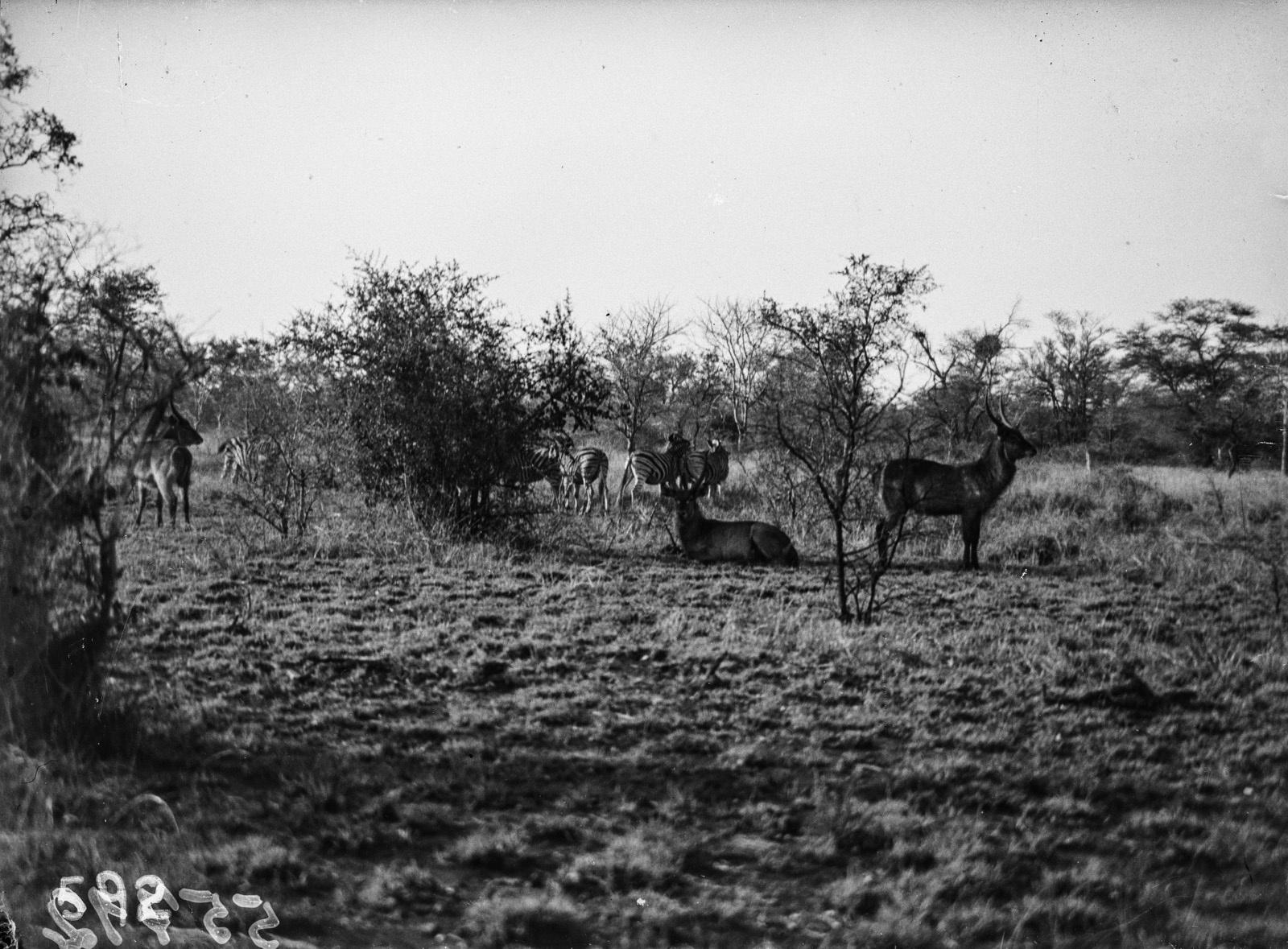 Национальный парк Крюгера. Водный козёл и зебры