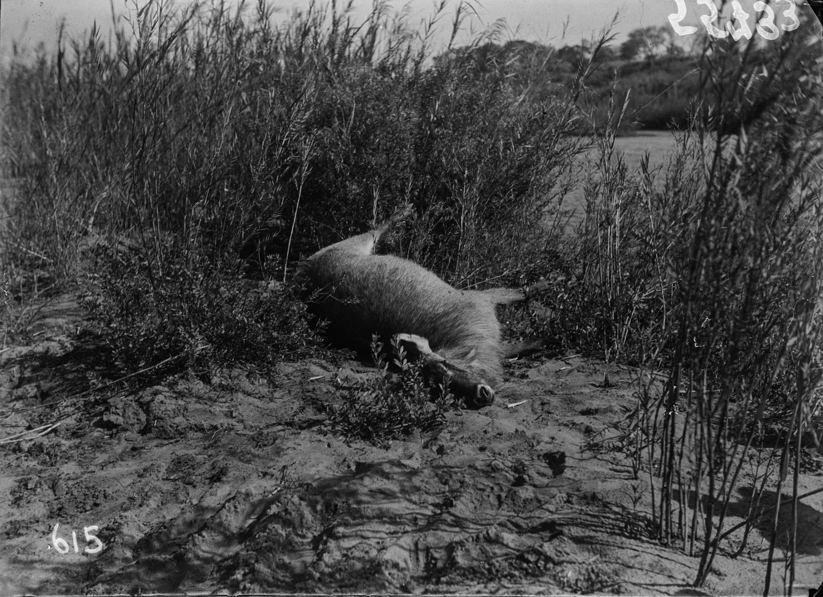 Национальный парк Крюгера. Подстреленный водный козёл.