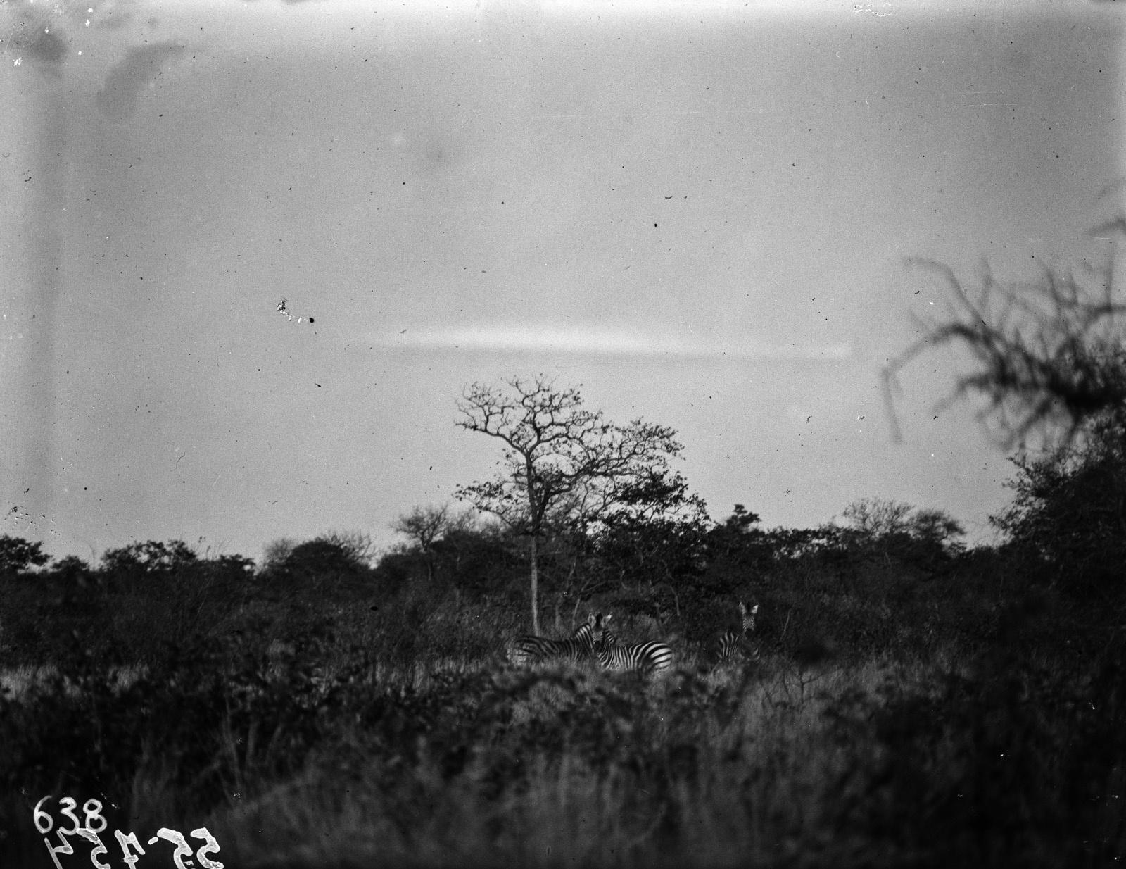 Национальный парк Крюгера. Зебры в саванне