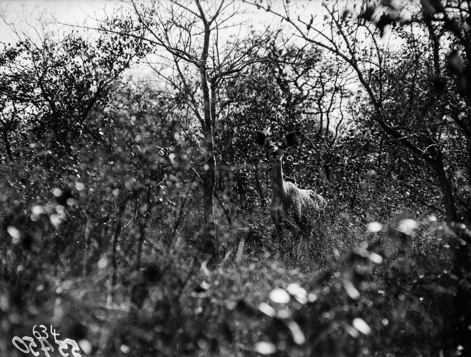 Национальный парк Крюгера. Самка Большого куду