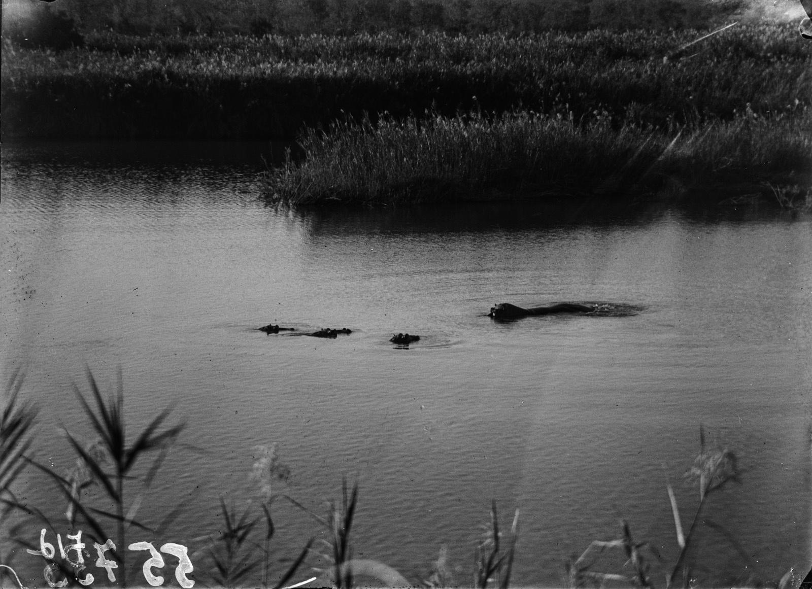 Национальный парк Крюгера. Бегемоты в водоёме