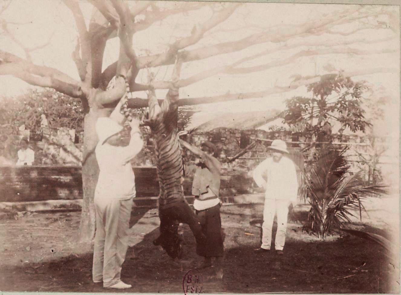 Тигр, убитый в Куй-Нхоне