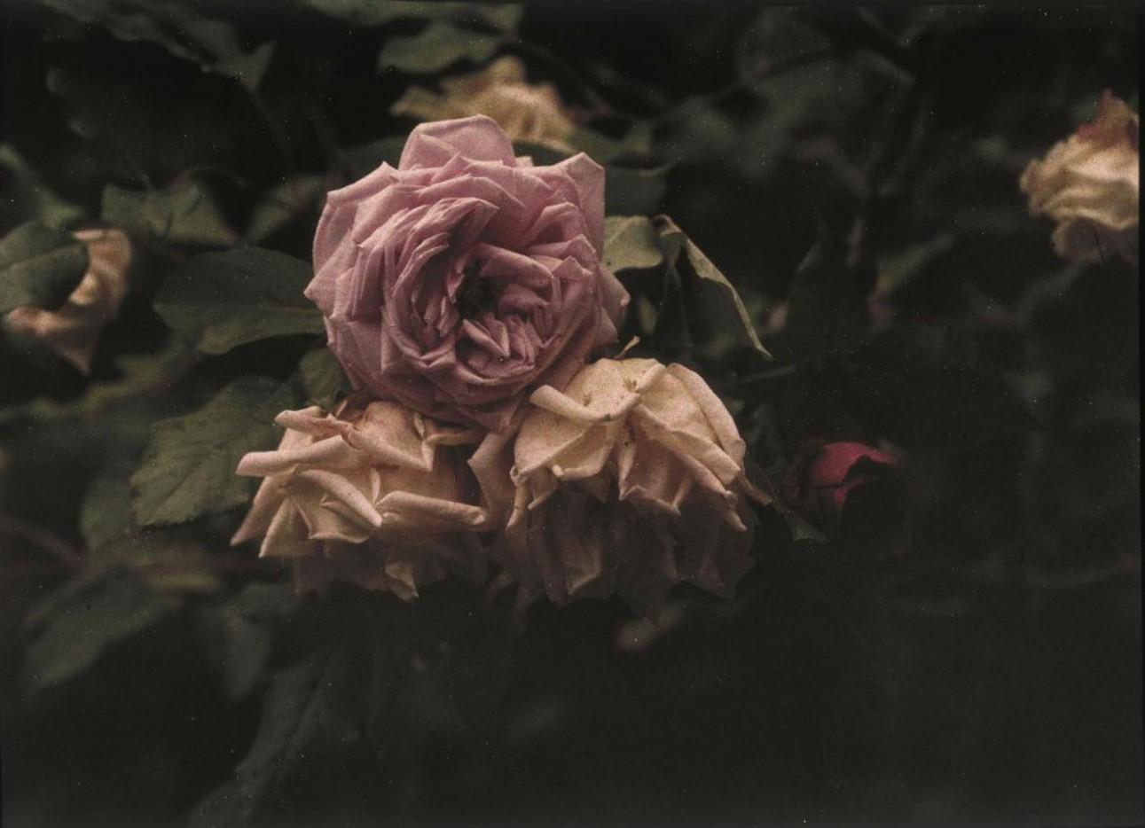 1911. Розы