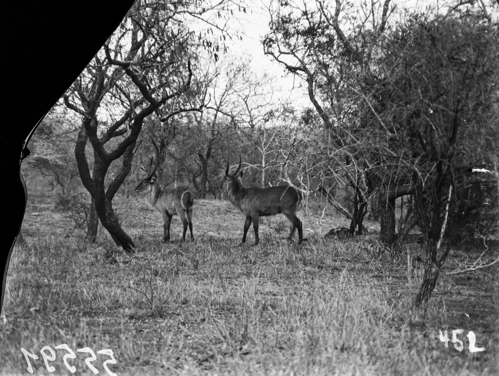 Национальный парк Крюгера. Антилопы