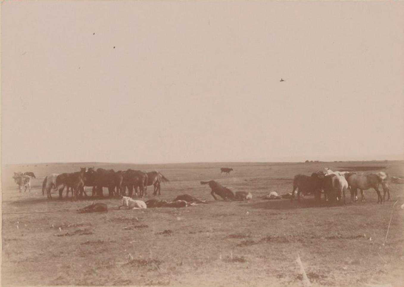 20. Лошади и волы