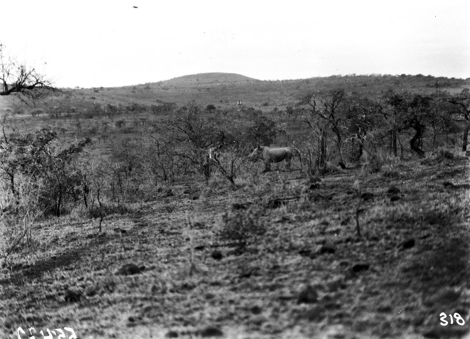 Южно-Африканский Союз. Квазулу-Наталь. Носорог в парке Умфолози