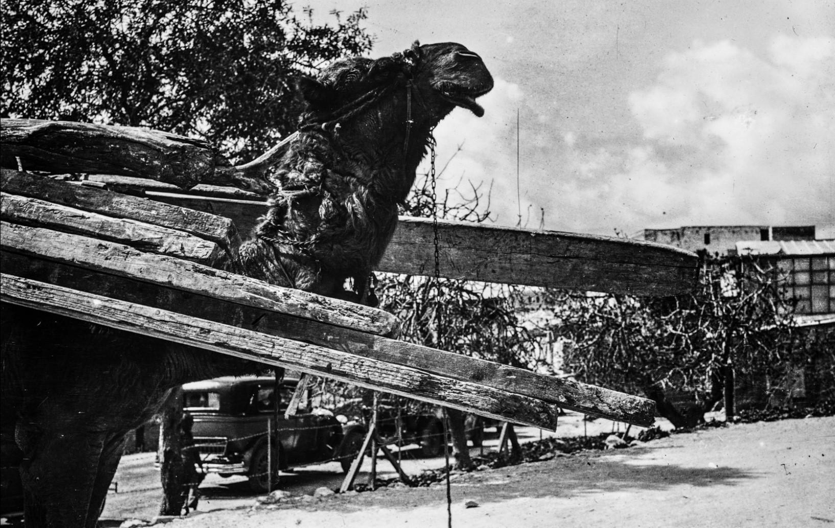 Верблюд перевозит древесину в Назарете