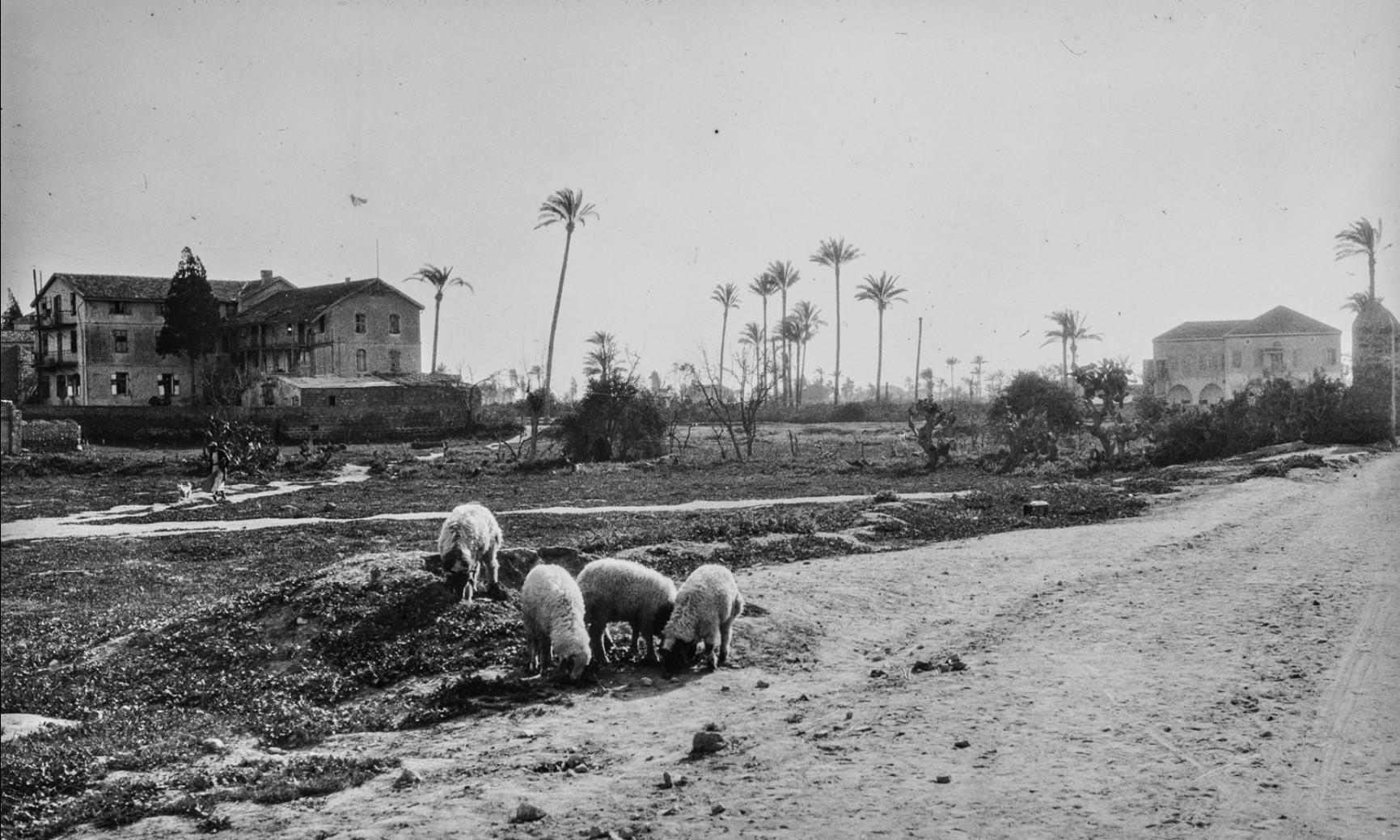 Яффо. Овцы на обочине дороги