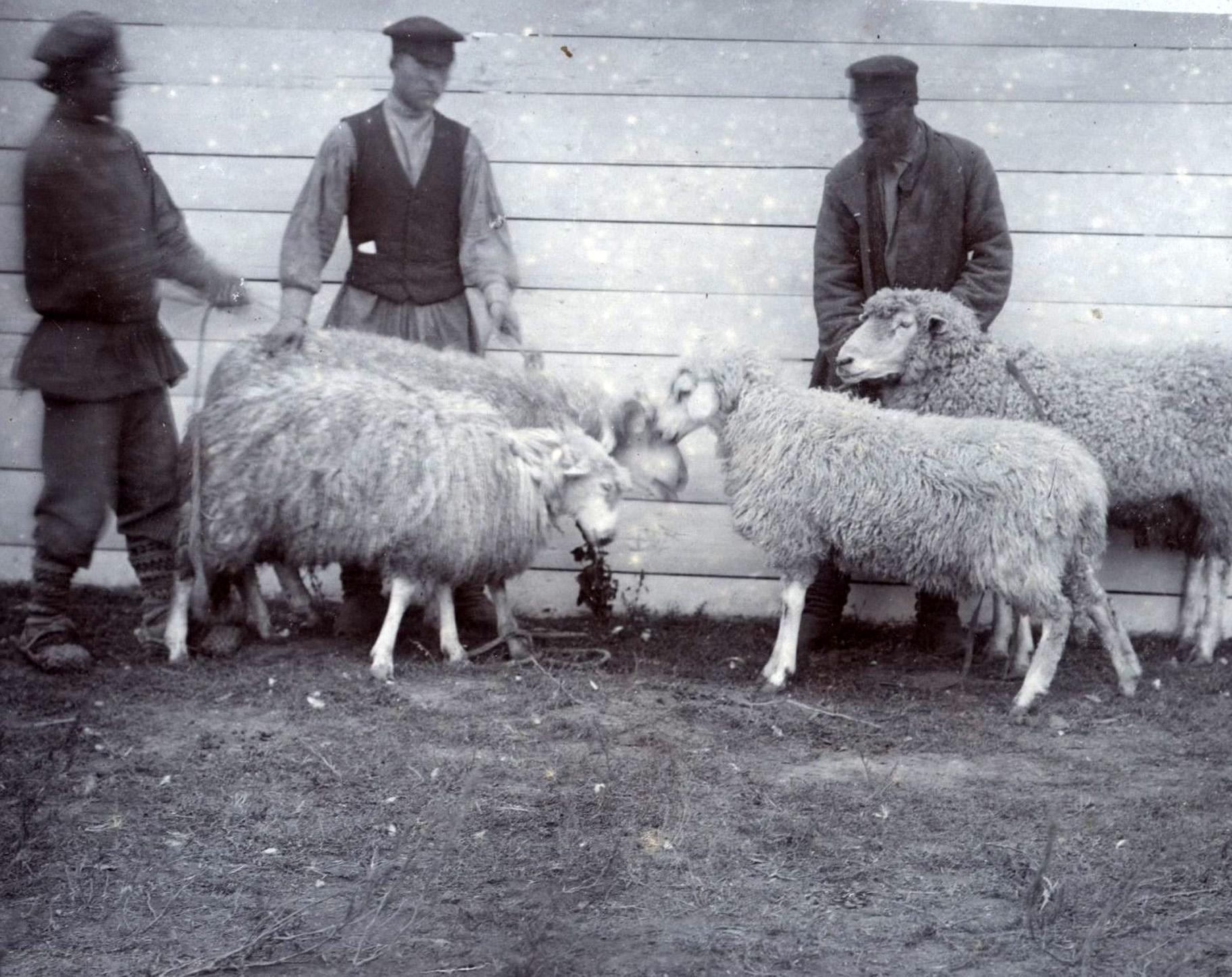 Овцеводы на Алексеевской сельскохозяйственной выставке.