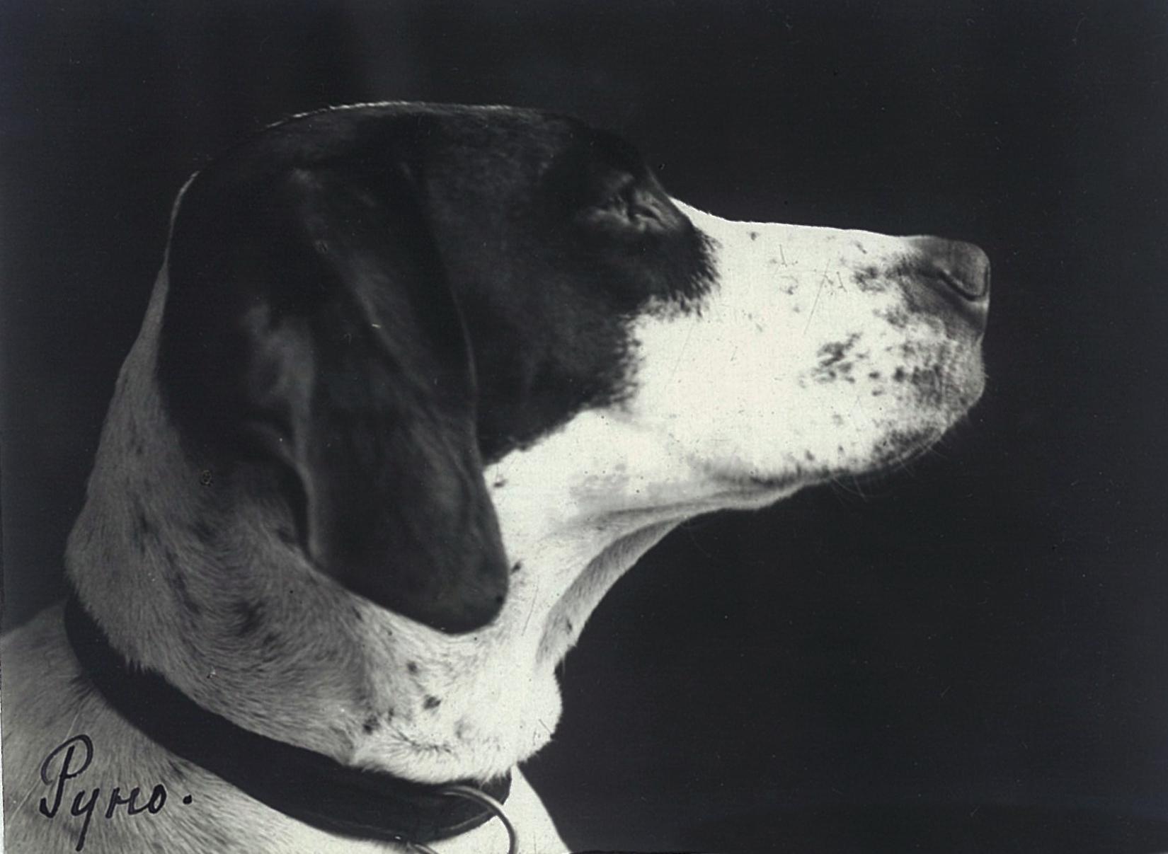 Охотничья собака Всеволожских Руно