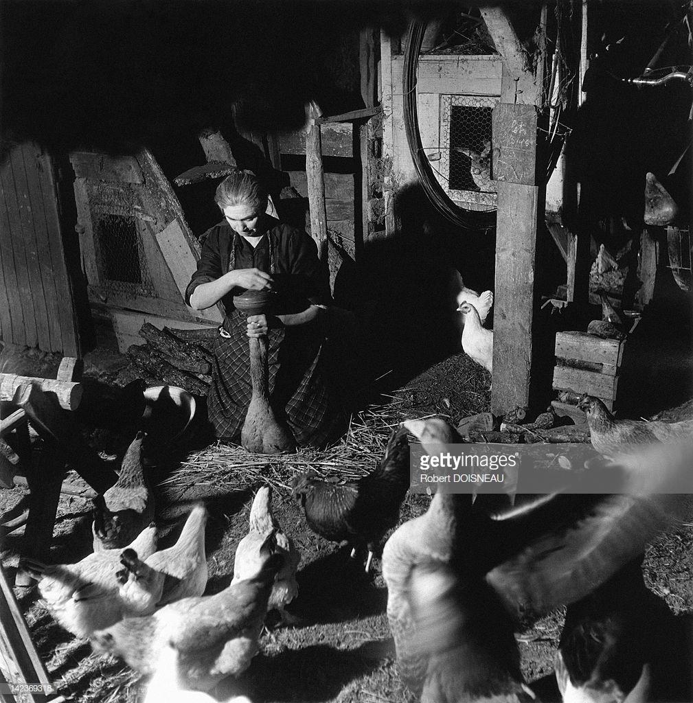 1948. Женщина, кормящая гуся кукурузой для производства фуа-гра из его печени на ферме в Суйяке