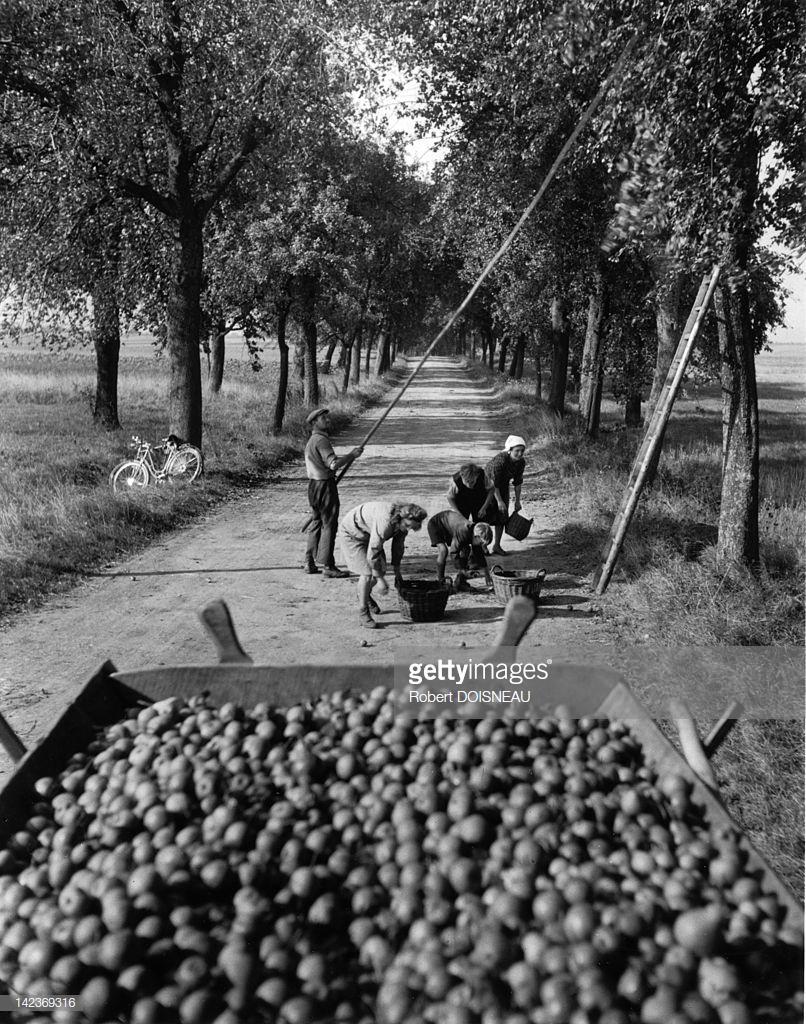 1950. Люди собирают груши на дороге Оберштайнбах в Эльзасе