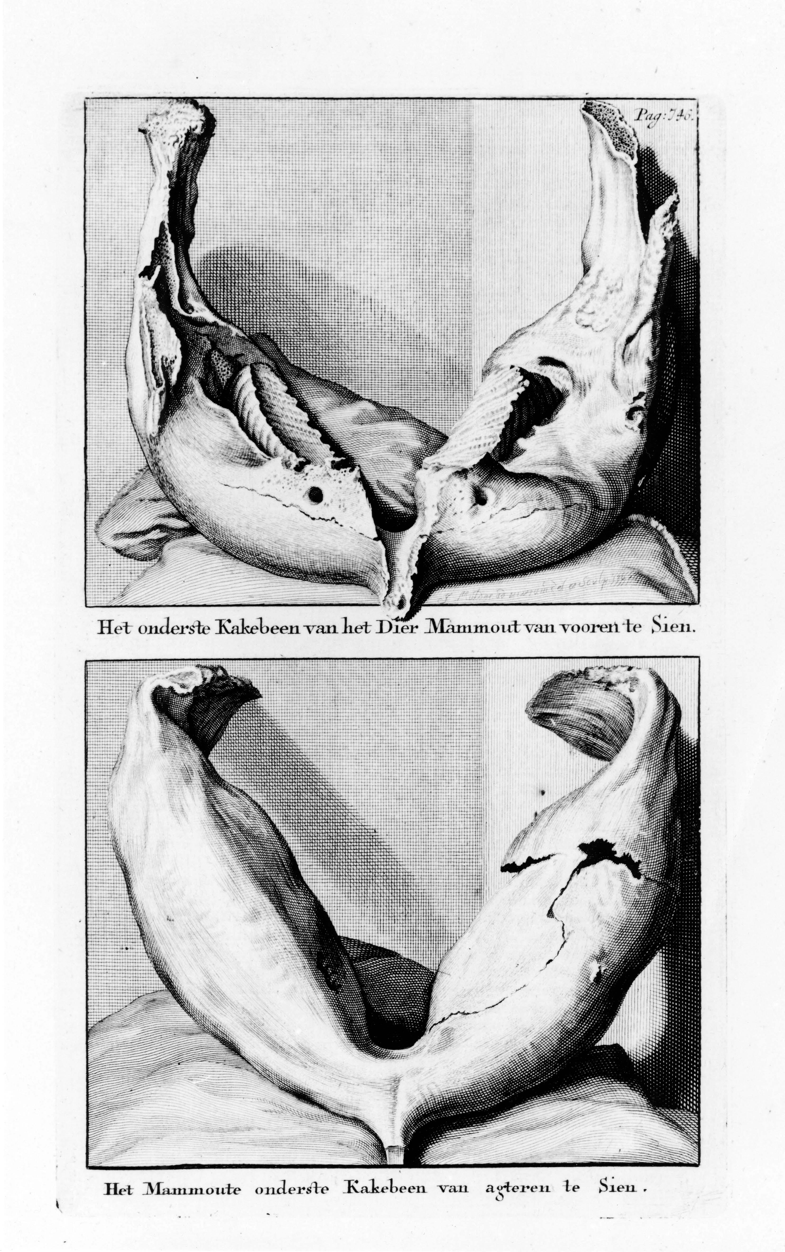 Нижняя челюсть зверя Мамонта. Вид спереди