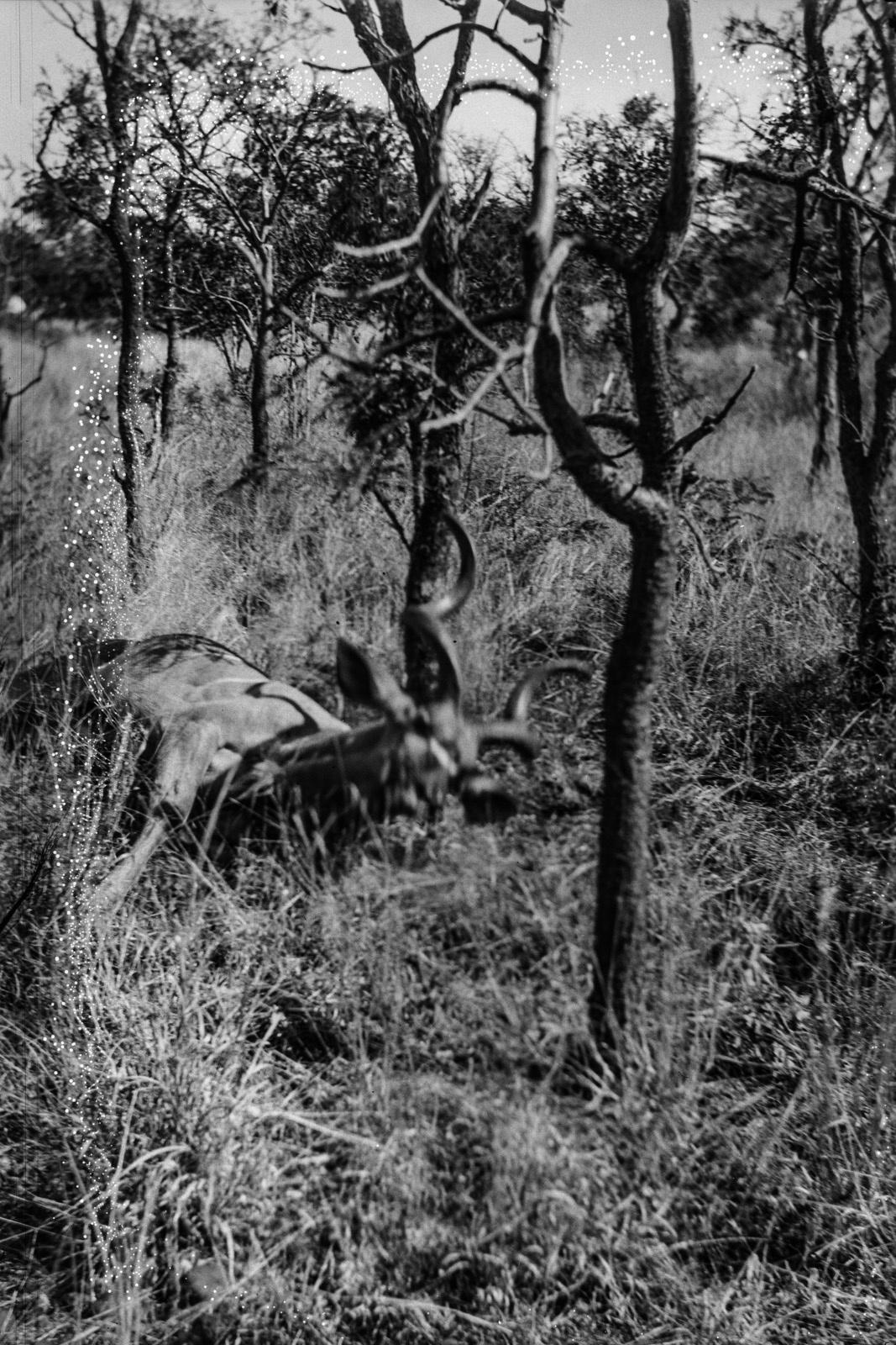 Северный Тули-Блок. Убитая антилопа Куду в горах Селика