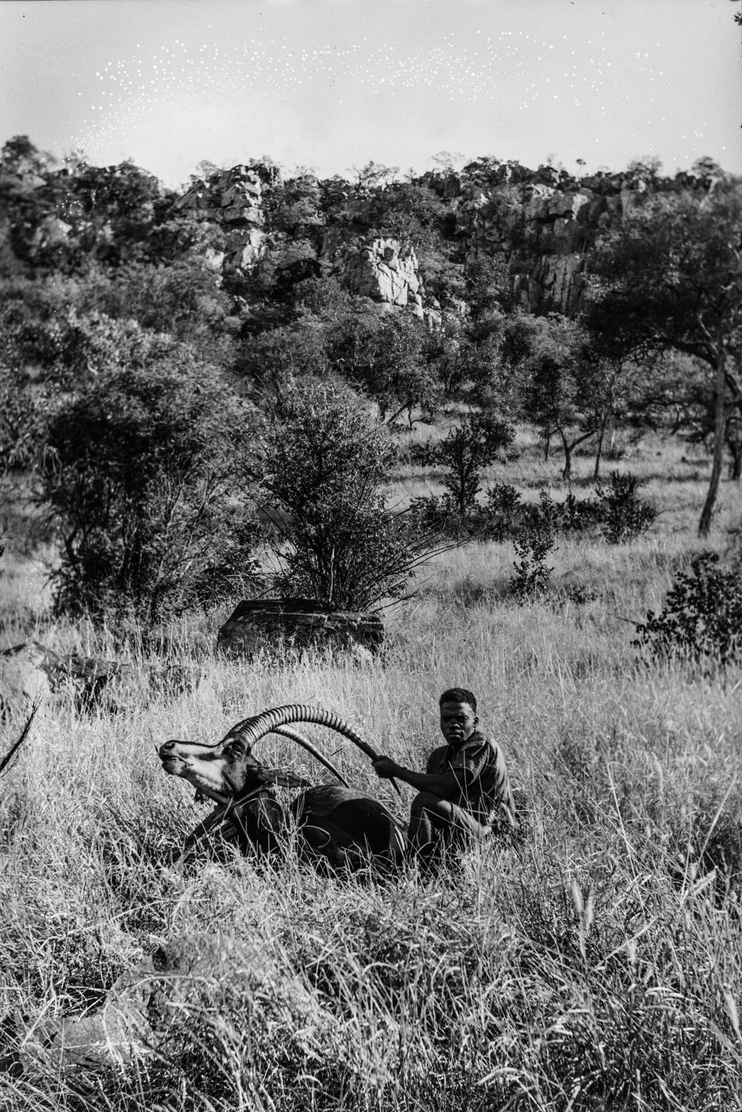 Северный Тули-Блок. Убитая саблевая антилопа.