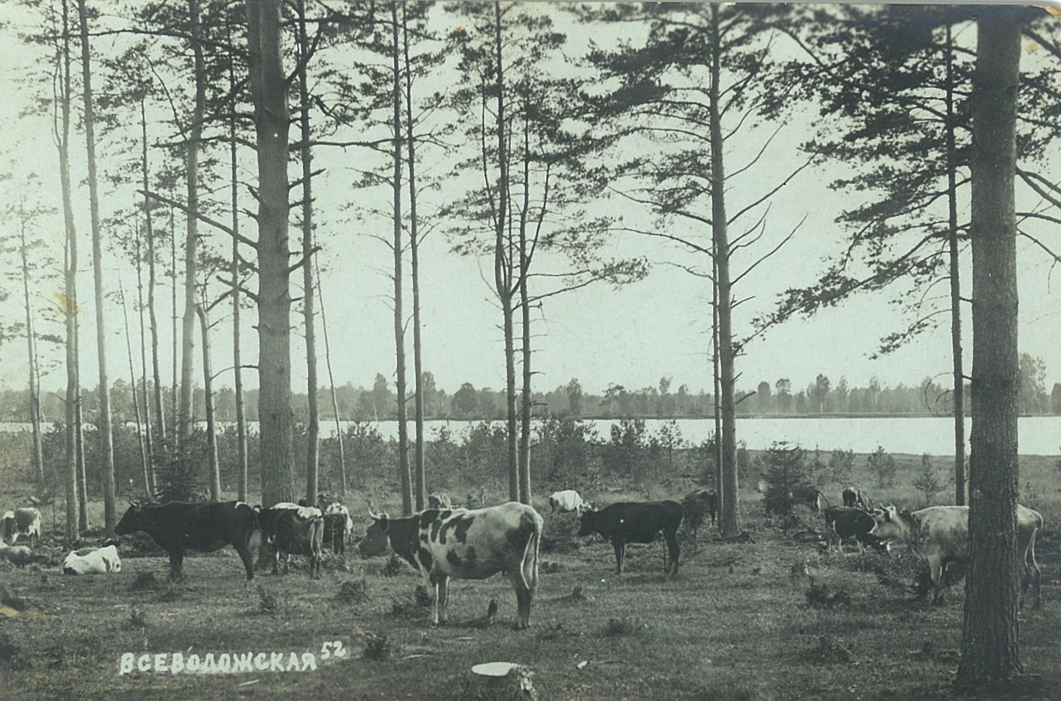 Стадо коров на берегу озера Большое