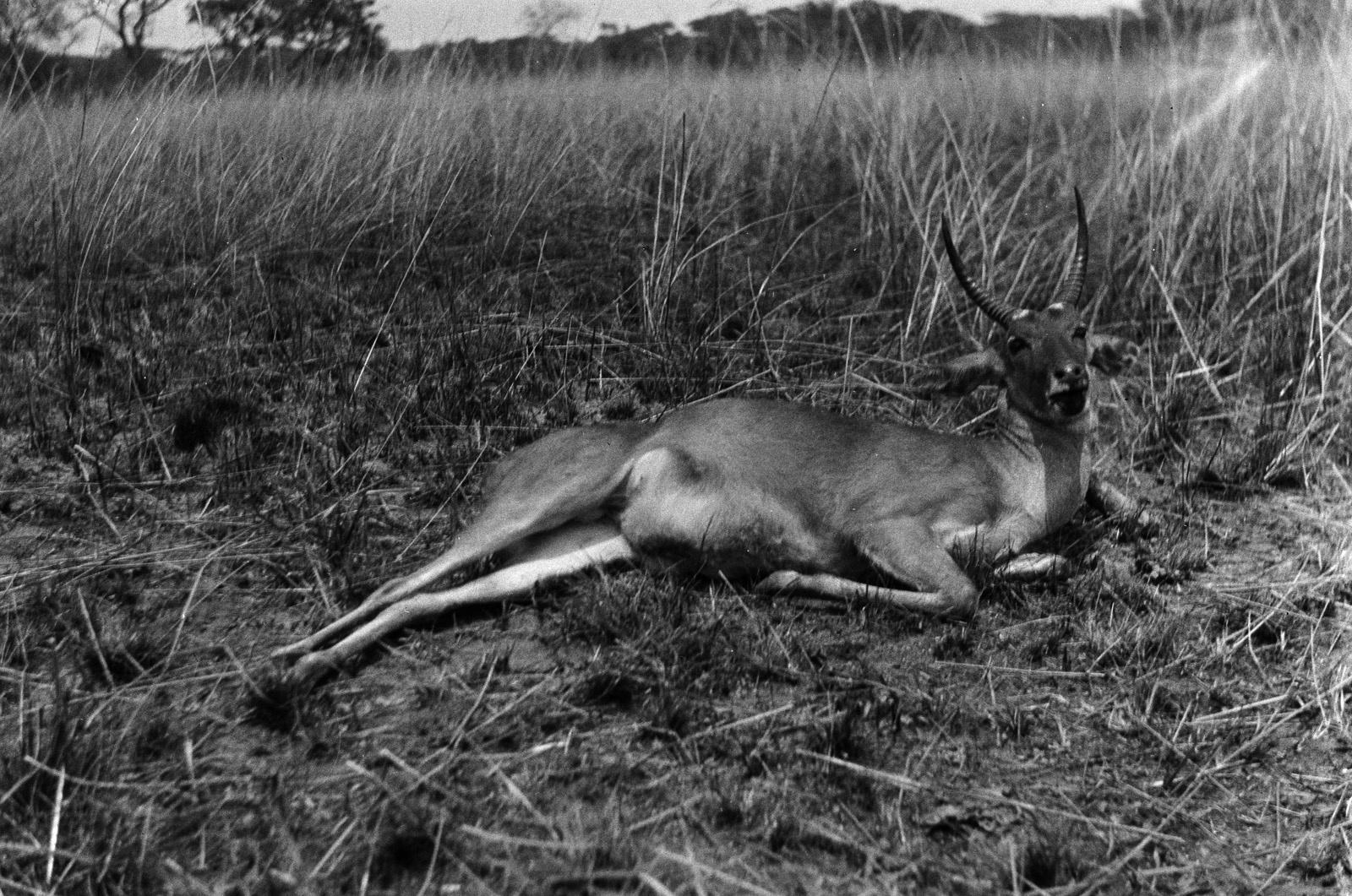 Касемпа. Пойманный тростниковый козел