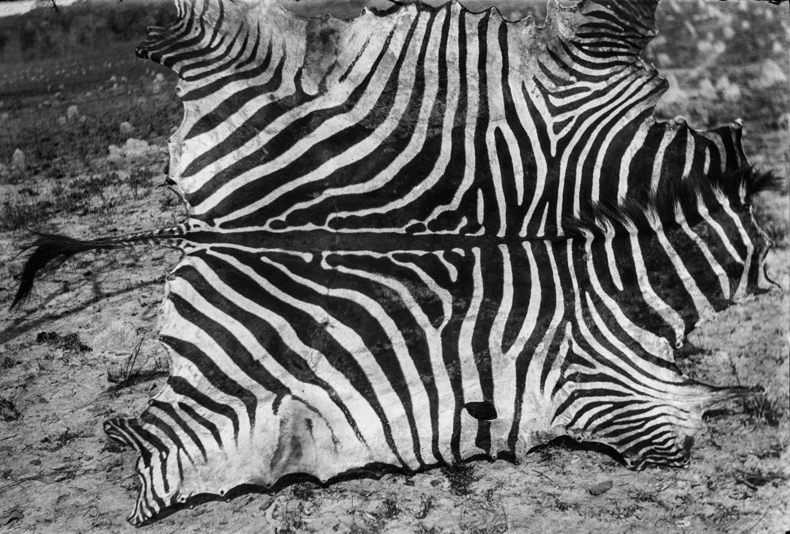 Касемпа. Свежеснятая шкура зебры