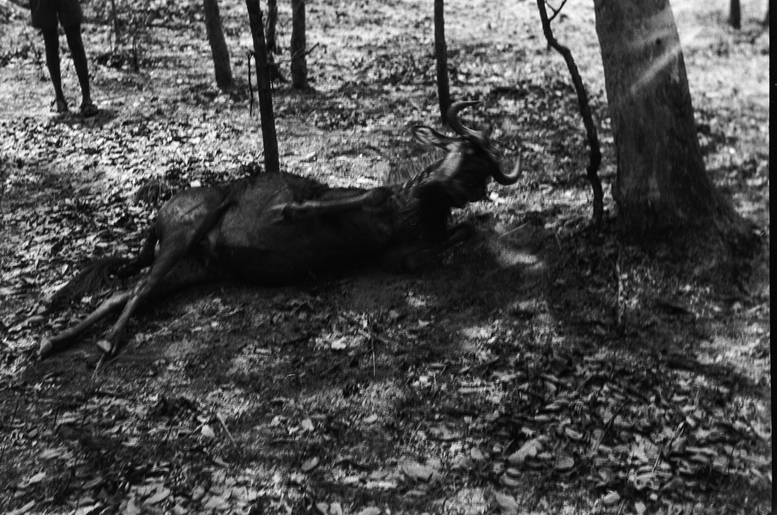 Касемпа. Убитая антилопа гну