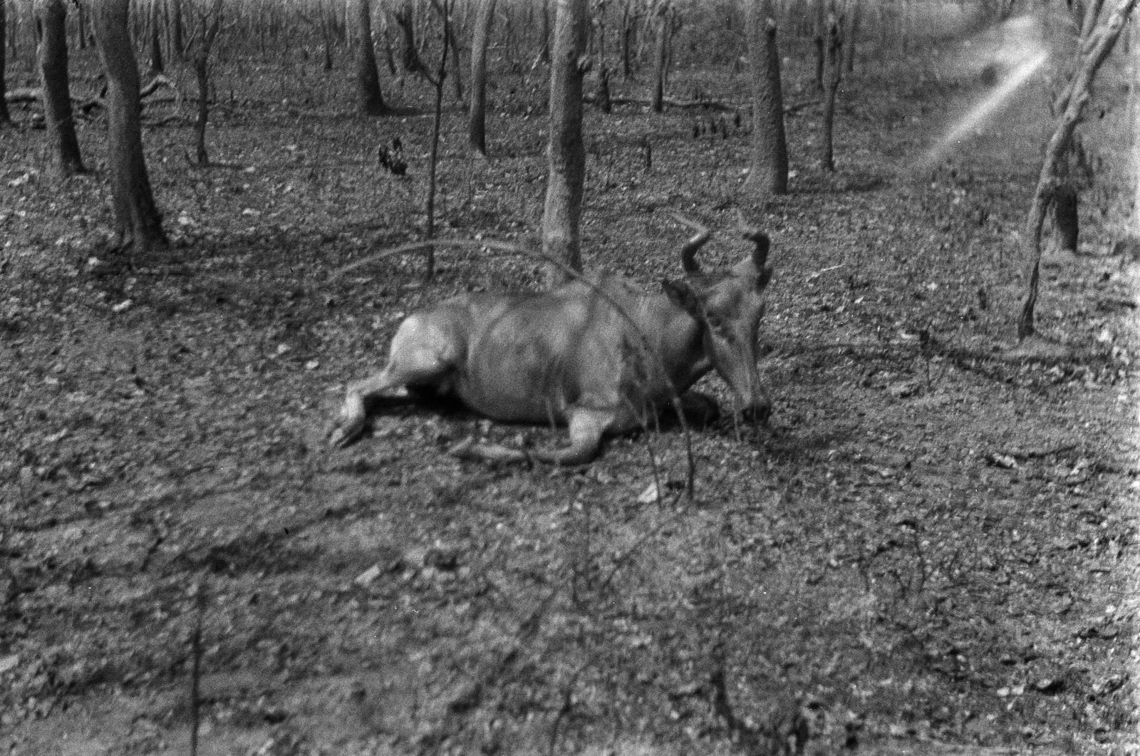Касемпа. Убитая антилопа