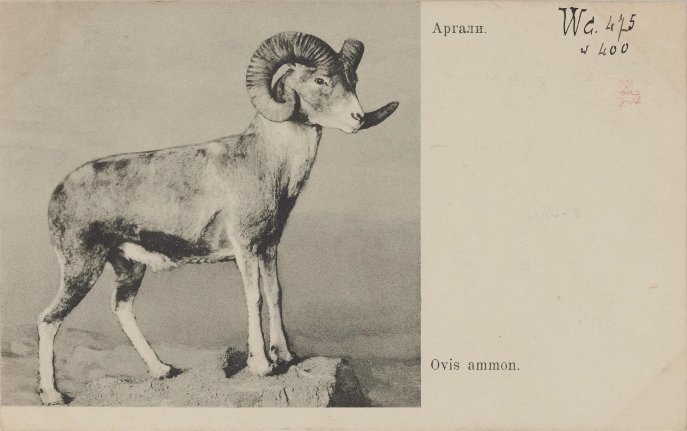 Академия Наук. Зоологический музей. Аргали