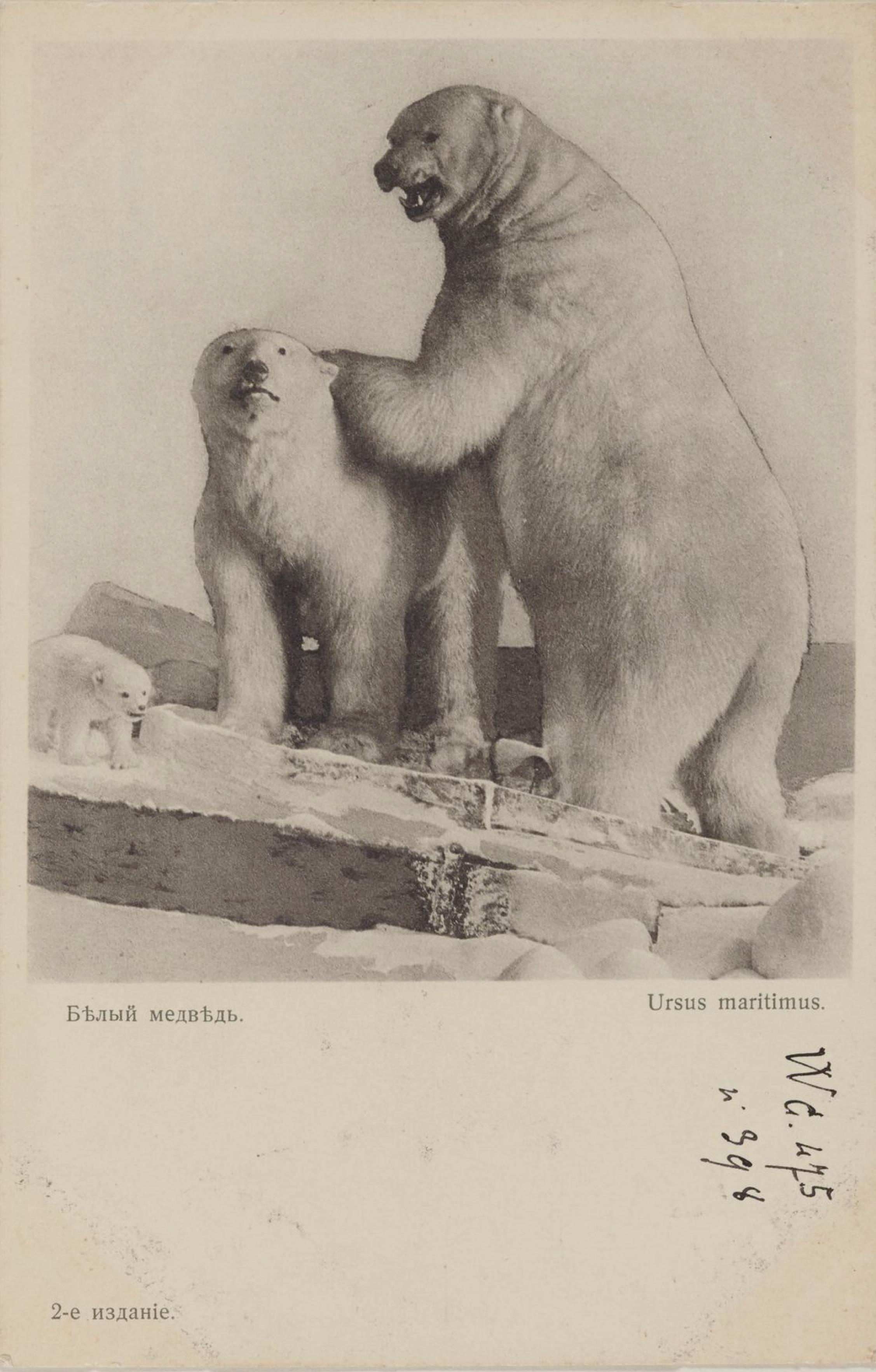 Академия Наук. Зоологический музей. Белый медведь