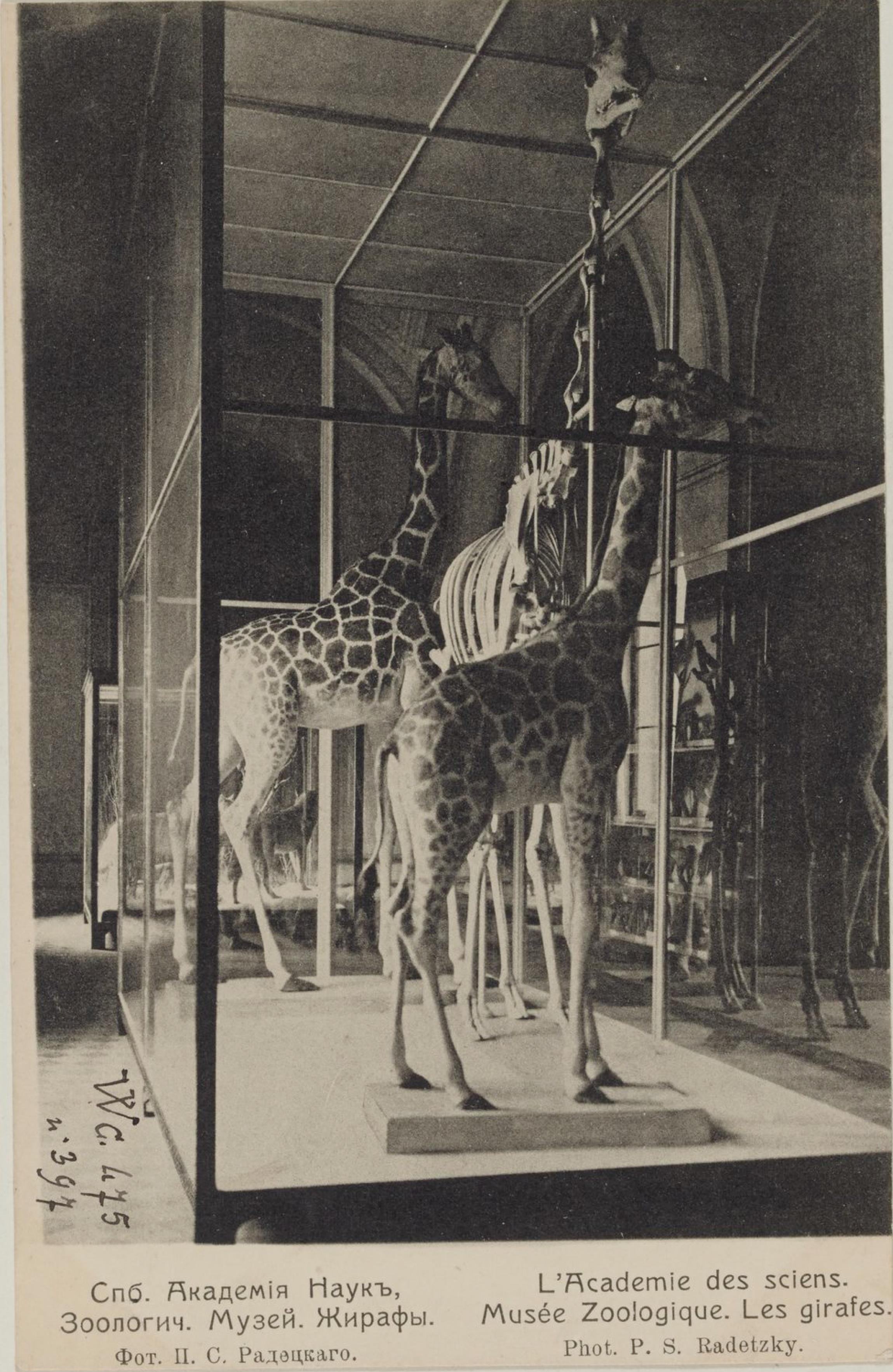 Академия Наук. Зоологический музей. Жирафы