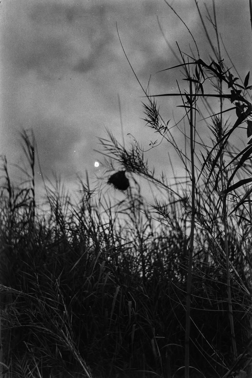 Между Капири Мпоши и рекой Лунсемфва.  Гнездо ткача в высокой траве