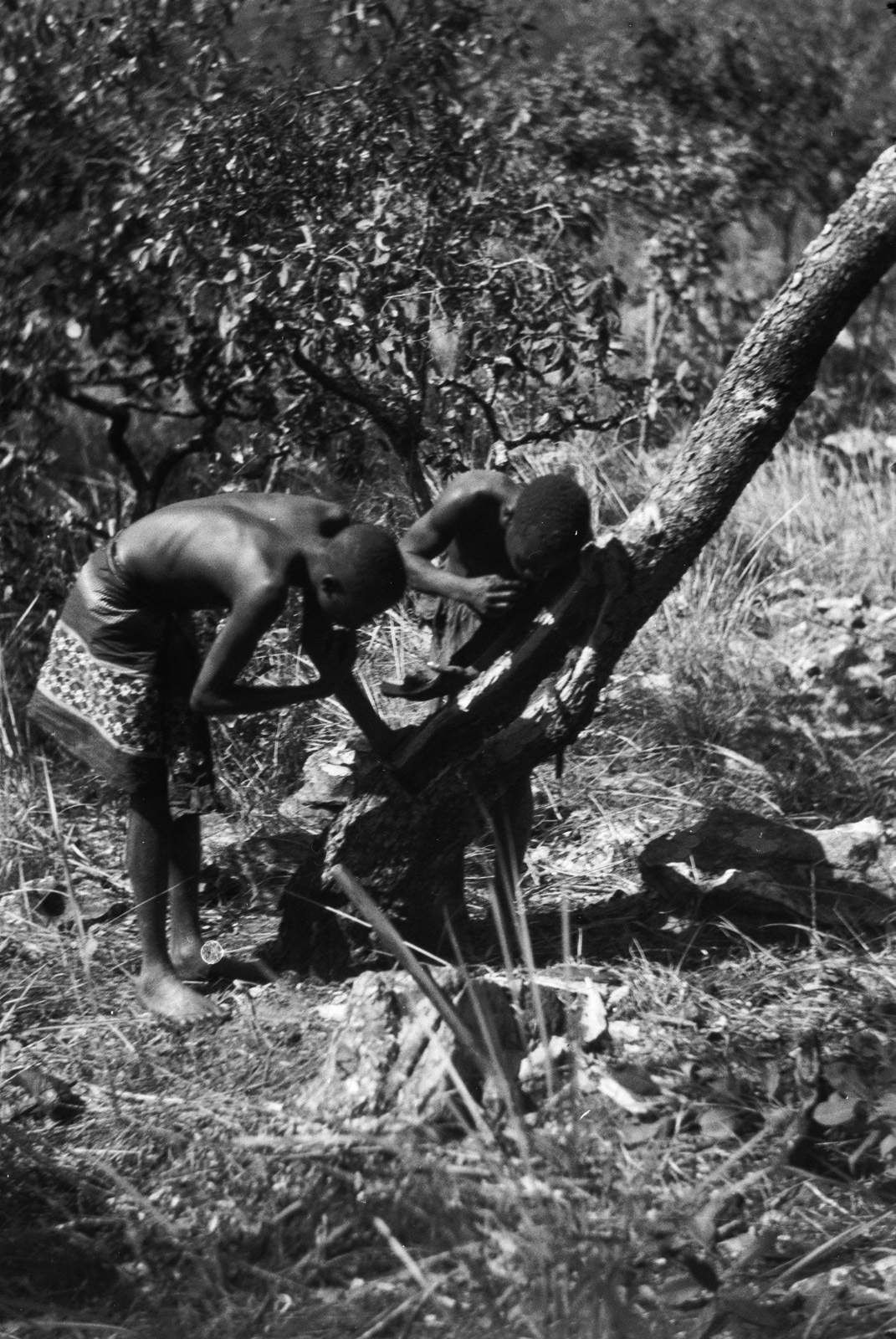 Между Капири Мпоши и рекой Лунсемфва. Двое мужчин собирают мед из улья диких пчел.