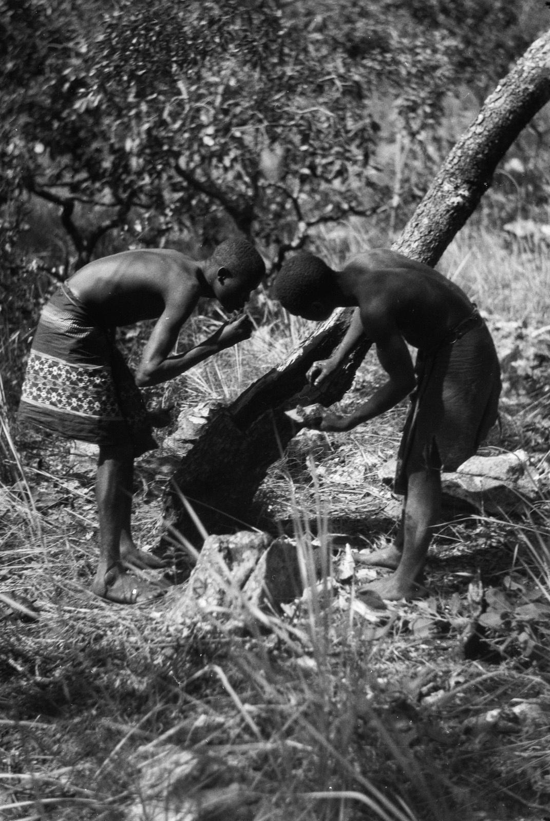 Между Капири Мпоши и рекой Лунсемфва. Двое мужчин собирают мед из улья диких пчел