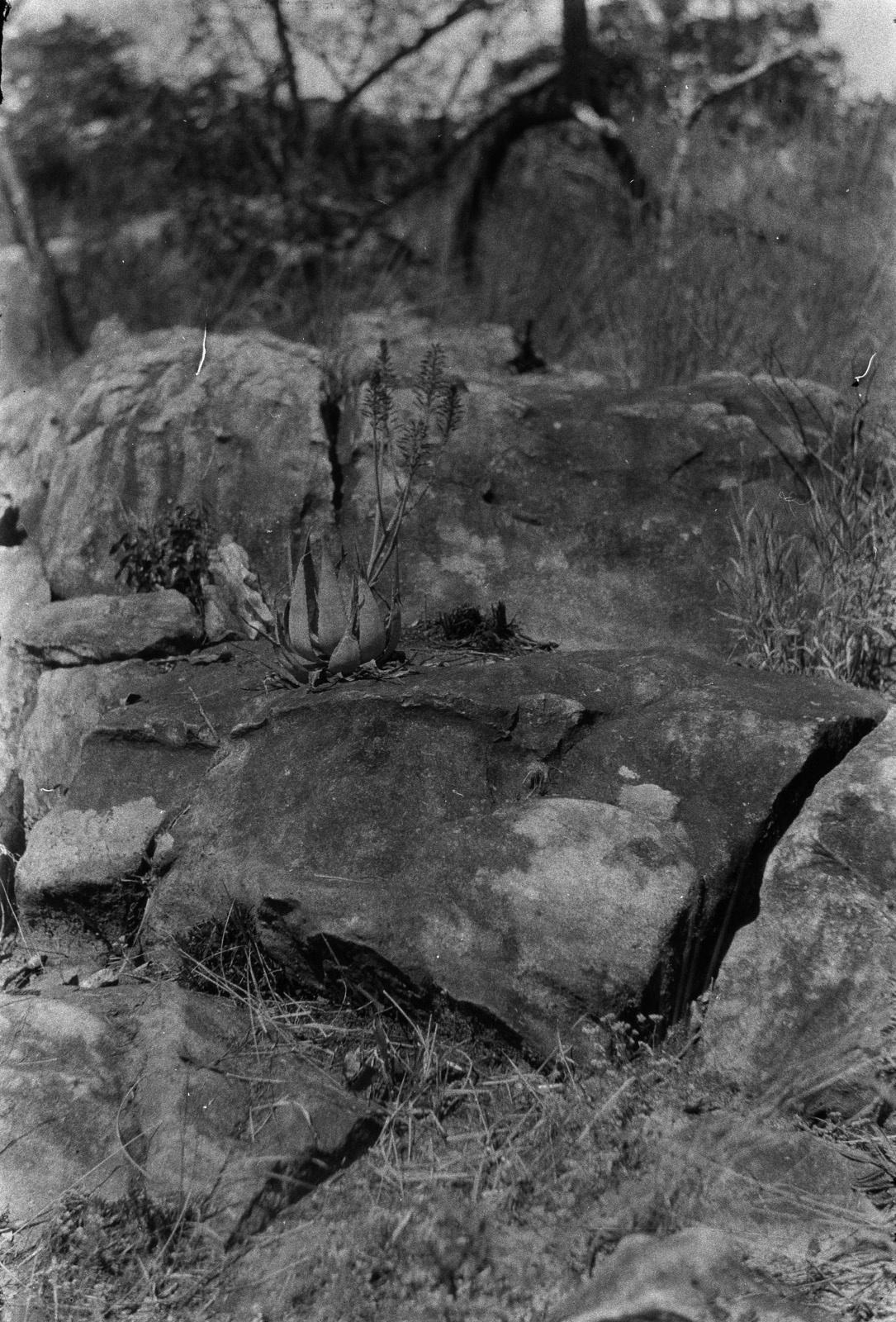 Между Капири Мпоши и рекой Лунсемфва. Маленькая цветущая агава на кварцитовой скале