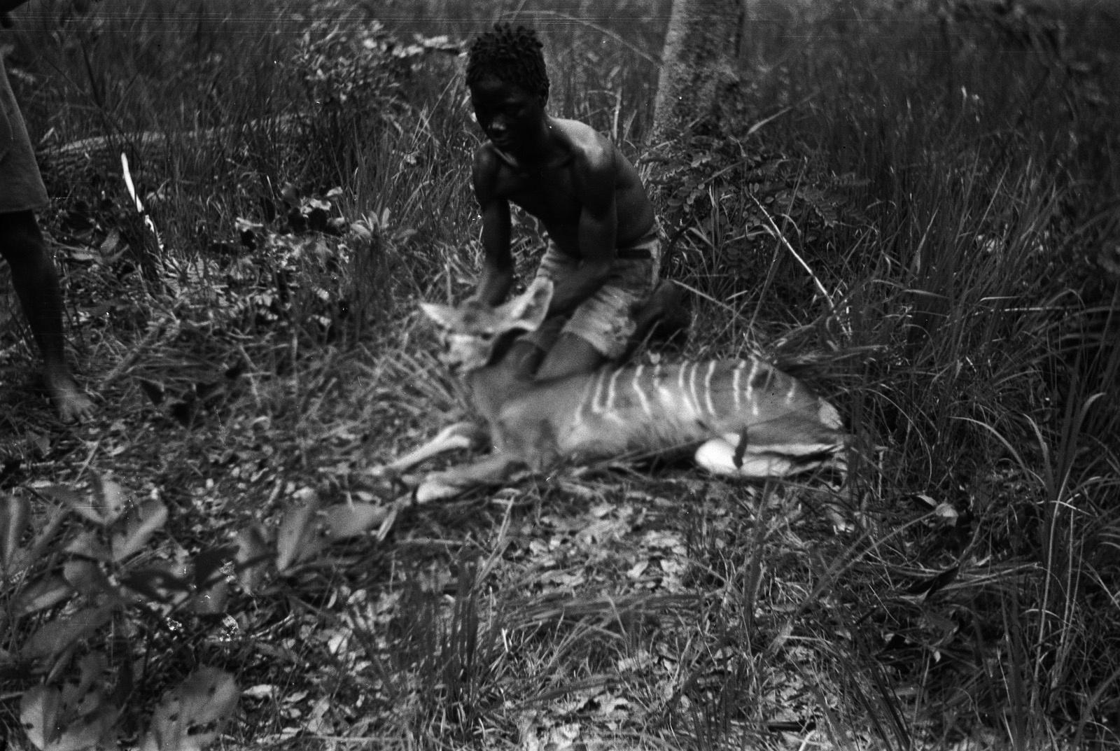 Между Капири Мпоши и рекой Лунсемфва. Молодой кальвено показывает убитую молодую антилопу