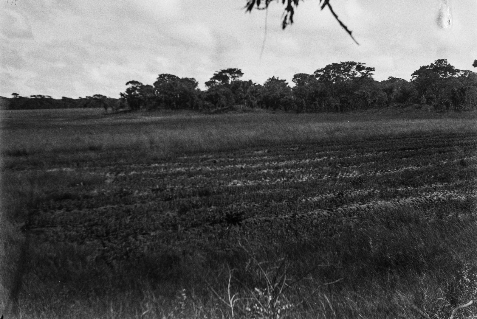 Между Капири Мпоши и рекой Лунсемфва. Поле в дамбо, на котором растут растения, похожие на спаржу